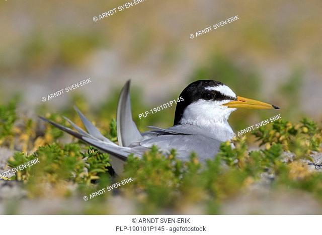 Little tern (Sternula albifrons / Sterna albifrons) breeding, incubating eggs on nest in saltmarsh in late spring / summer