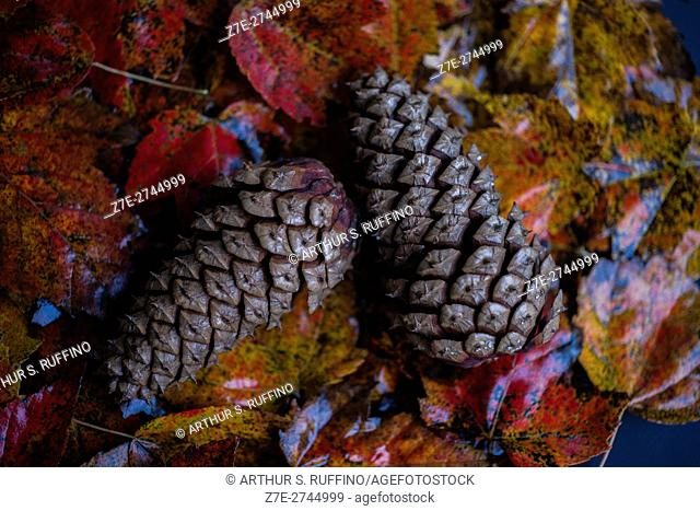 Autumn leaves and conifer cones after a rain