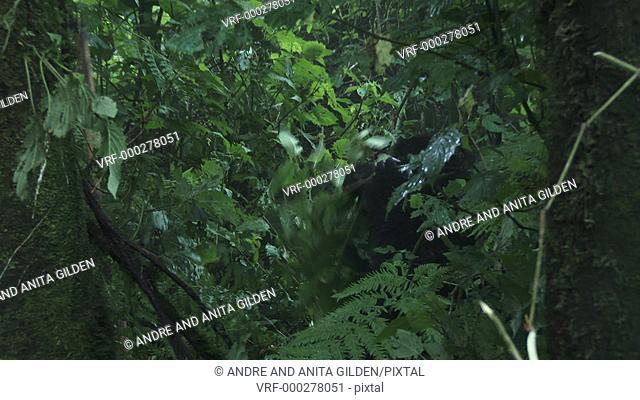 Female Mountain Gorilla (gorilla beringei beringei) sitting relaxed between shrubs eating bark from a twig