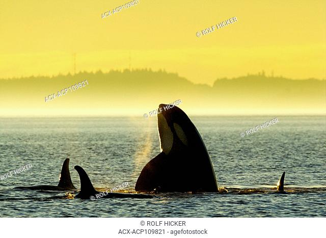 Northern Resident Killer whales playing and spyhopping in front of Alert Bay, Cormorant Island, British Columbia, Canada. Orcinus orca