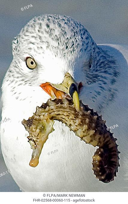 Ring-billed Gull Larus delawarensis adult, winter plumage, with seahorse in beak, Sanibel Island, Florida, U S A