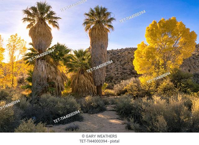 USA, California, Joshua Tree National Park, Autumn trees at sunset