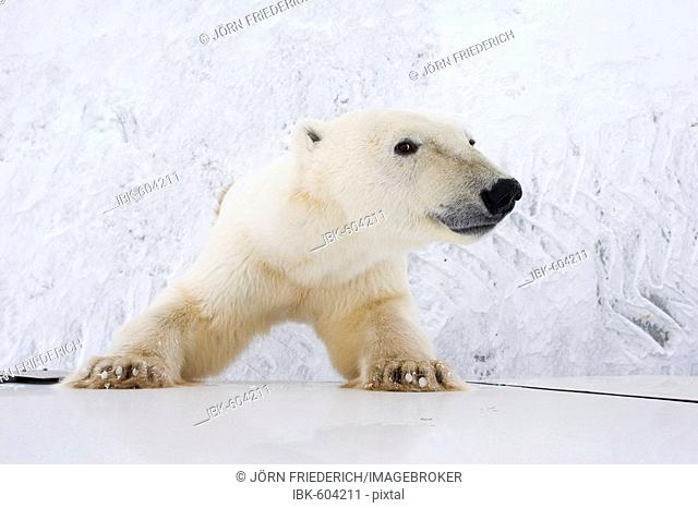 Polar Bear (Ursus maritimus), curious, leaning up against a Tundra Buggy in Churchill, Manitoba, Canada