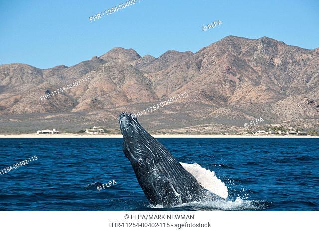 Humpback Whale Megaptera novaeangliae adult, breaching, Cabo Pulmo National Marine Park, Baja California Sur, Mexico, march