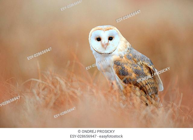 Sitting Barn Owl in light grass