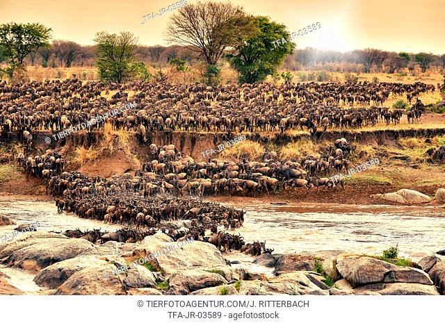 western white-bearded wildebeests