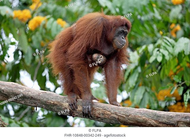 Orang-utan Pongo pygmaeus adult female, with young clinging to belly