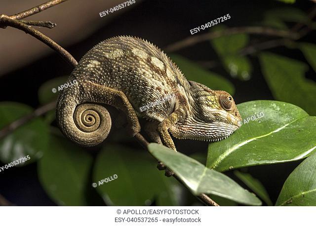 Juvenile Panter chameleon (Calumma parsonii), (Chameleonidae), endemic to Madagascar, Ankanin Ny Nofy, Madagascar