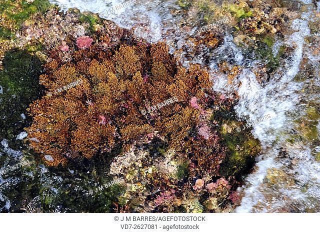 Brown alga (Cystoseira sp. ). Heterokontophyta. Fucales. Fucaceae. Cabo Creus, Girona, Catalonia, Spain, Mediterranean Sea