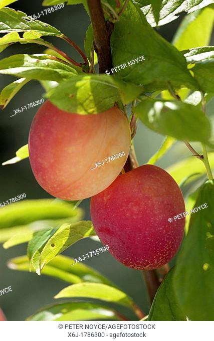 two ripe plums, Plum Lizzie - Prunus domestica, - yellow red colour - on branch of tree