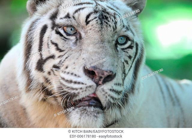 A close up shot of a white Tiger