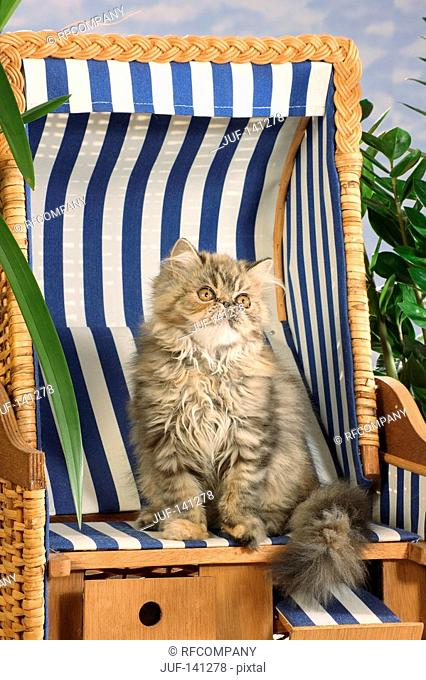 Persian cat - sitting in beach chair