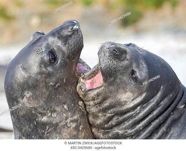 Southern elephant seal (Mirounga leonina) after harem and breeding season. Young bulls fighting and establishing pecking order