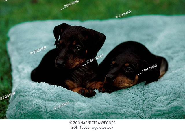 Manchester Terrier, puppies, 6 weeks old  /  Manchester-Terrier, Welpen, 6 Wochen alt  /  [Saeugetiere, mammals, animals, Haushund, domestic dog, Haustier