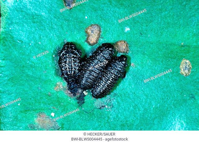 beetle Gallerucella nymphaeae
