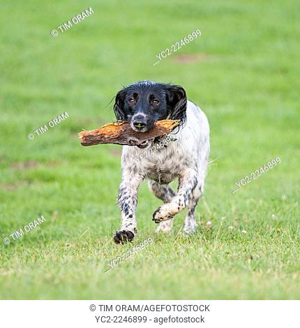 An English Springer Spaniel dog fetches a stick