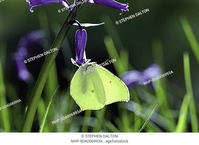 BRIMSTONE BUTTERFLY Gonepteryx rhamni on Bluebell, wings closed