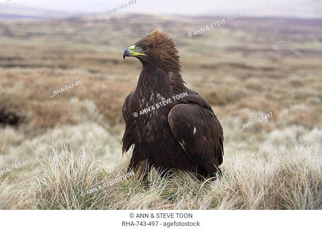 Captive golden eagle Aquila chrysaetos on moorland, United Kingdom, Europe