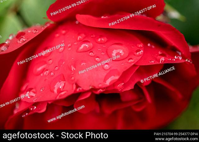 04 July 2021, Lower Saxony, Wardenburg: Fine drops of water have collected on a rose blossom after a rain shower. Photo: Hauke-Christian Dittrich/dpa