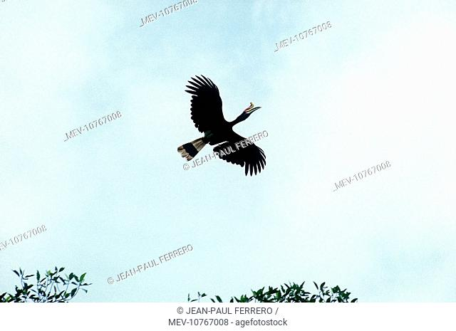 Rhinoceros Hornbill In Flight Buceros Rhinoceros Stock Photo Picture And Rights Managed Image Pic Mev 10767008 Agefotostock