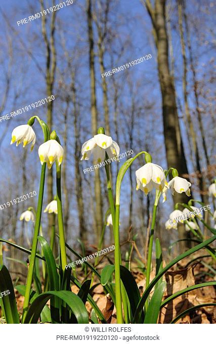 Spring Snowflake Leucojum vernum, Germany / Märzenbecher Leucojum vernum, Deutschland