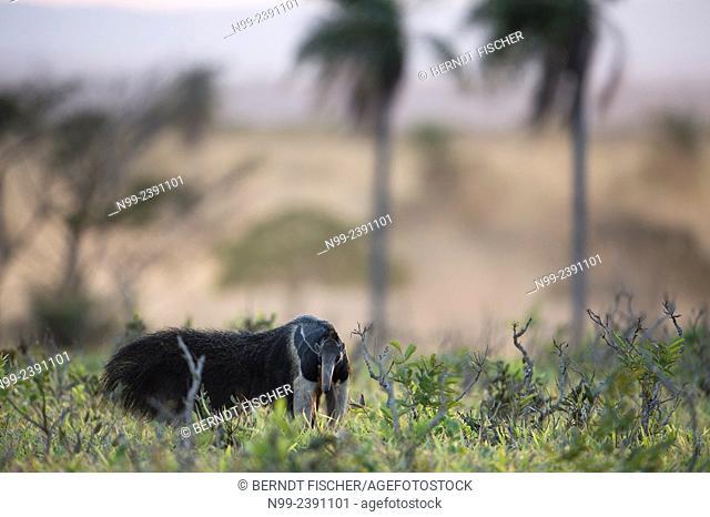 Giant ant-eater (Myrmecophaga tridactyla), walking through bush and grassland, Mato Grosso do Sul, Brazil