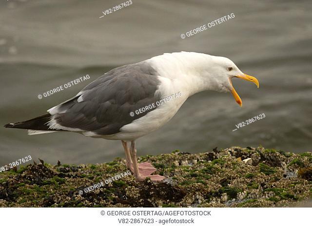 Gull, Yachats State Park, Oregon