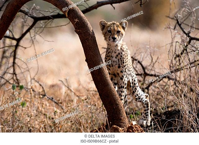 Portrait of a Cheetah cub (Acinonyx jubatus), Samburu National Reserve, Kenya, Africa