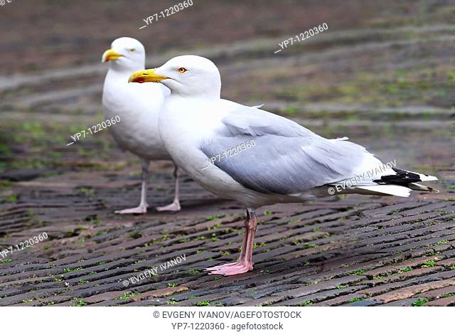 Gulls scrounging for food
