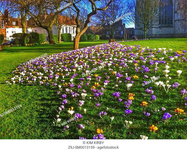Crocuses in Dean's Park York North Yorkshire England UK United Kingdom GB Great Britain
