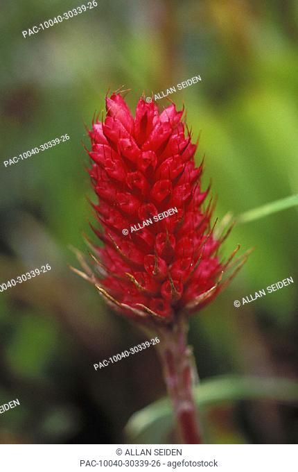 Close-up soft focus of single red bromeliad on plant