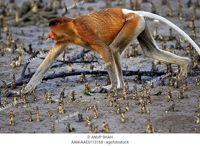 Proboscis monkey sub-mature male walking through the mudflats of a mangrove swamp revealed at low tide (Nasalis larvatus)