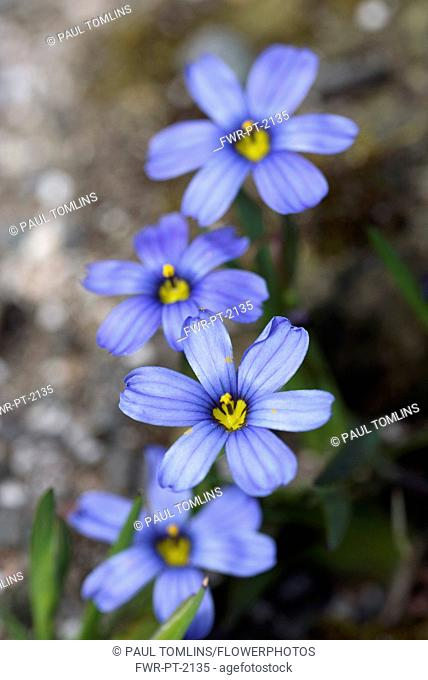 Blue-eyed grass, Sisyrinchium 'Californian Skies', Delicate blue coloured flowers growing outdoor