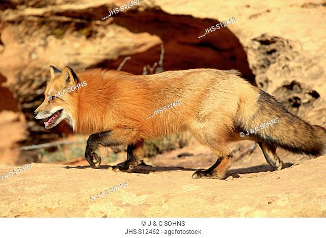 Red Fox, Vulpes vulpes, Monument Valley, Utah, USA, adult stalking