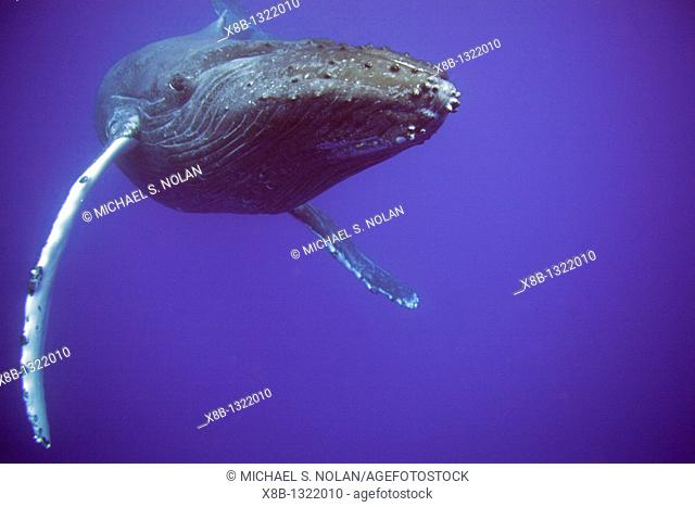 Humpback whale Megaptera novaeangliae underwater in the AuAu Channel separating Maui from Lanai, Hawaii  Pacific Ocean