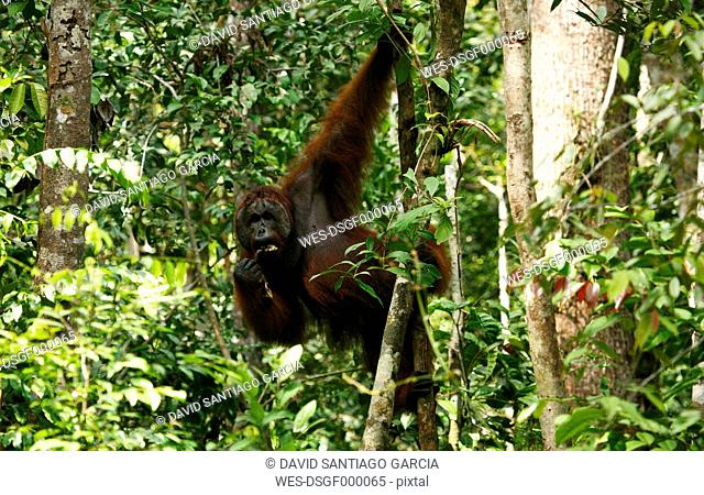 Indonesia, Borneo, Tanjunj Puting National Park, View of Bornean orangutan hanging in forest