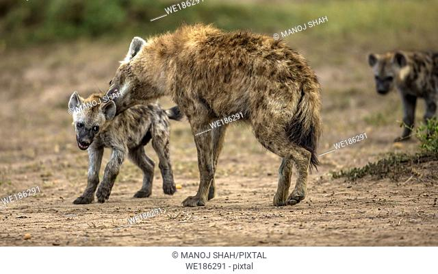 Adult spotted hyenas disciplining the puppies in Masai Mara