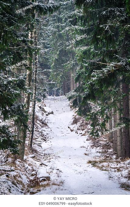 Pathway through the pine forest in winter, Karkonosze National Park, Poland