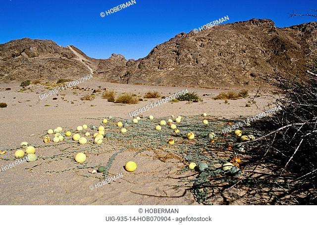 Kalahari Tsamma melon, Northern Cape