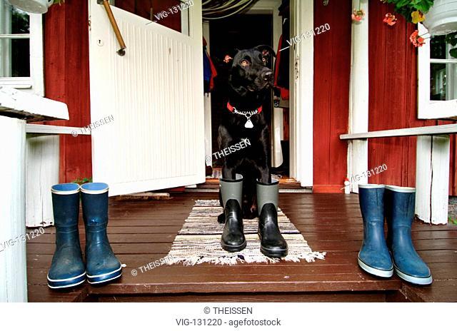 Hund in Gummistiefeln auf der Veranda einer roten Holzh³tte, PR / dog in rubber boots on a veranda of a red wooden cottage, PR. - Finland, 01/01/2005