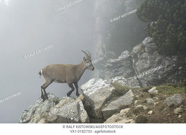 Female Alpine ibex ( Capra ibex ) walks over rocks along the edge of a steep cliff, dense fog