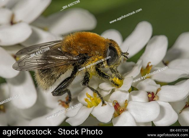 Narcissus Bulb Fly (Merodon equestris) male on Evergreen candytuft (Iberis sempervirens), Baden-Württemberg, Germany, Europe