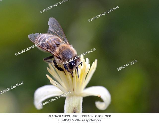 European honey bee - Apis mellifera, Greece