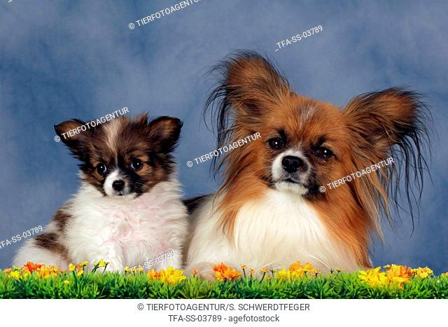 Papillon mother with puppy