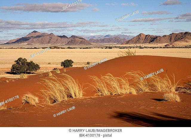 Elim Dune, views of grasslands and Camel thorn trees (Vachellia erioloba), Sesriem Camp and Tsaris Mountains, Namib Desert, Namib Naukluft Park, Namibia