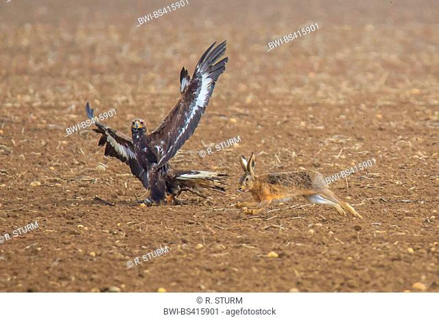 golden eagle (Aquila chrysaetos), hunts a hare