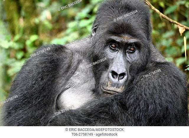 Silverback eastern lowland gorilla portrait (Gorilla beringei graueri) in the equatorial forest of Kahuzi Biega National Park