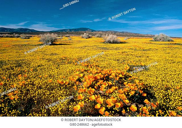 Goldfields and poppies in Antelope Valley. California. USA