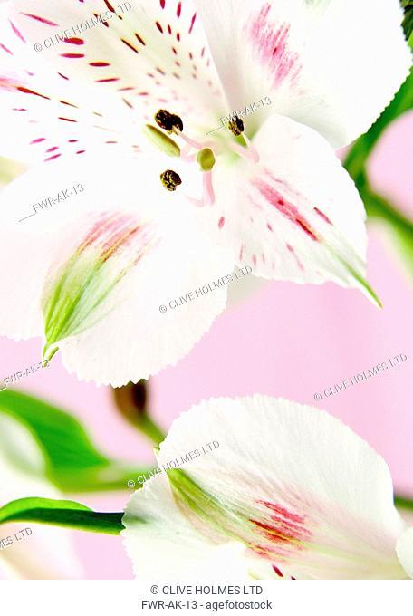 Alstroemeria - variety not identified, Alstroemeria / Peruvian lily