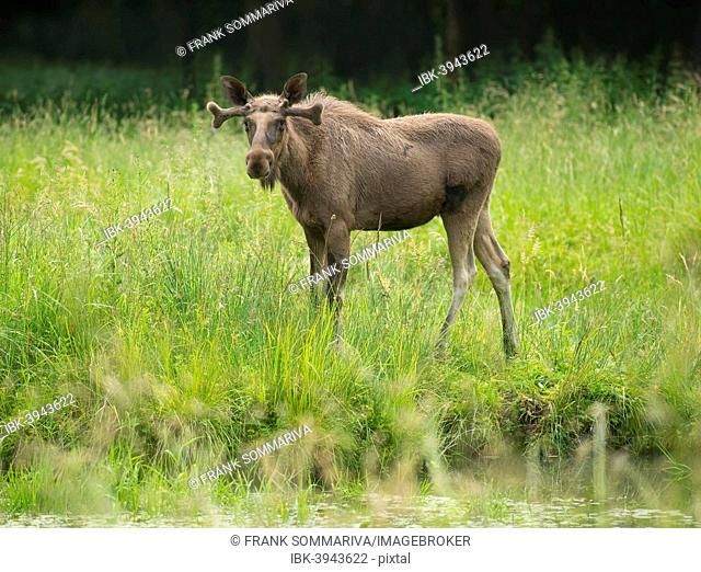Eurasian Elk or Moose (Alces alces), young bull moose with antlers in velvet, captive, Lower Saxony, Germany